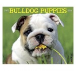 Bulldog Puppies – 2014 16-Month Calendar