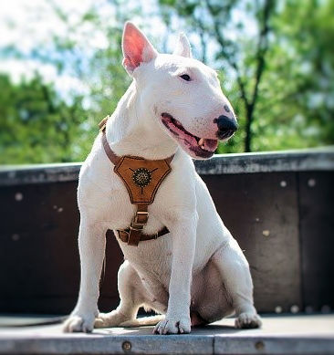 The Miniature Bull Terrier is a strong,courageous, devoted